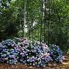 The Hydrangea woodland area.