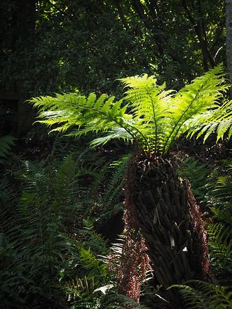Tree Fern in the shady woodland area.
