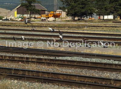 Pigeons.  What else!? These are railroad tracks!