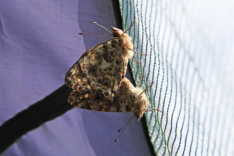 Mating first observed June 10