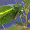 New chrysalis...2nd generation,  July 11