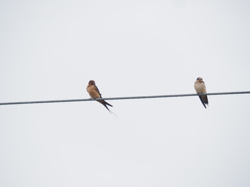 Two Birds on the Same Wire