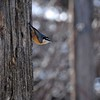 This Red-Breasted Nuthatch will also have to wait.<br /> <br /> Thanks for viewing.