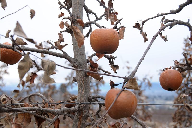 Baked Apple Tree