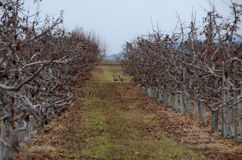 The trees are not as tall as you would expect to see in an apple orchard.