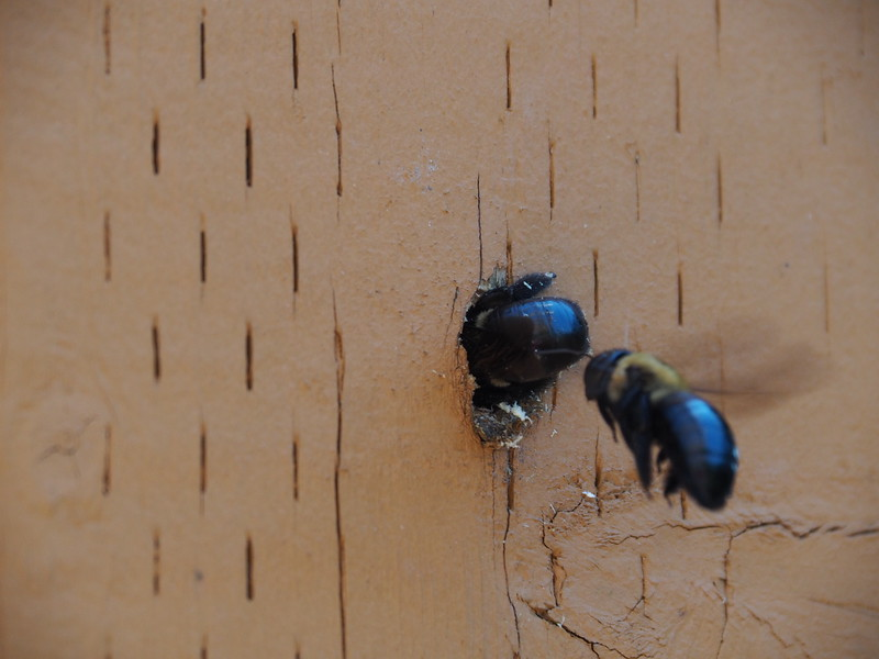 These carpenter bees are busy excavating a nest in a porch railing.