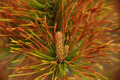 Although the mountain pine beetle is doing a lot of damage to the coniferous trees, the dying pine needles have a somewhat beauty to them.