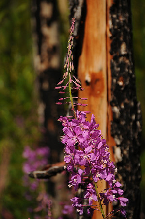 Fireweed is one of the first flowers to populate a burnt out area.