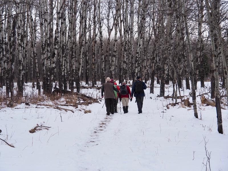 Entering an Aspen grove along Paradise Trail.