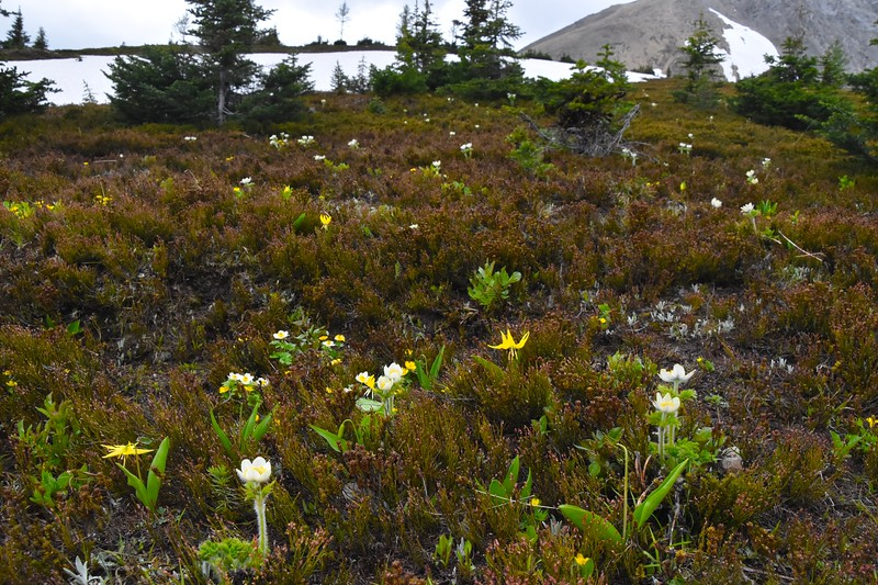 At higher elevations such as where we are now, the white pasqueflower can be seen growing amongst the lilies.