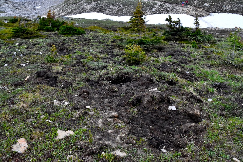 This is another common site in the mountains.  More than likely this digging site was created by a grizzly bear hunting for voles.
