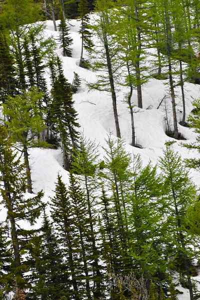 In the more isolated areas there is still plenty of snow.  The hollows around the base of these trees are known as tree wells.
