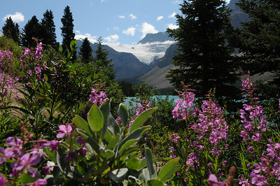 Fireweed and Crowfoot Glacier.