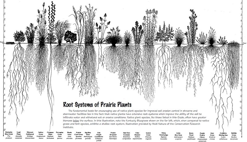 Root Systems of Prairie Plants.<br /> <br /> At the far left is Kentucky Blue Grass, which is <br /> the most commonly used lawn grass here in Calgary, grows roots that are less than 3 INCHES deep.  In comparison, all the other grasses grow to a depth of from 2 FEET, to over 15 FEET.