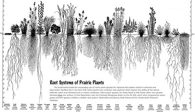 Root Systems of Prairie Plants.  At the far left is Kentucky Blue Grass, which is  the most commonly used lawn grass here in Calgary, grows roots that are less than 3 INCHES deep.  In comparison, all the other grasses grow to a depth of from 2 FEET, to over 15 FEET.
