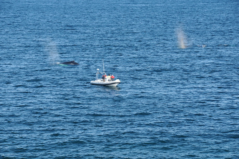Numerous tour boats go out every hour to view the whales feeding, and the whales seem more intent on eating than paying the onlookers any attention.