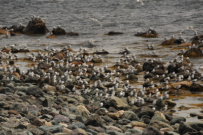 There are a lot of hungry mouthes to feed perched on these rocks.