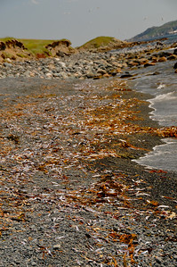 Usually in the month of July, millions of capelin roll along the eastern shores of Newfoundland during the spawning season.  After spawning, the male capelin have an extremely high mortality rate which is close to 100%.  Whales, seals, cod, squid, mackerel, and seabirds all feast on capelin.  If you haven't seen the entertaining videos of the capelin rolling, the links are at the bottom of the introduction to this album.