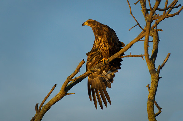 Bald Eagle juvenile in tree stretches wing in magic hour light • Montezuma NWR, NY • 2011