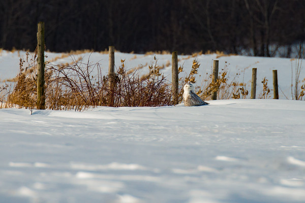 Juvenile Snowy Owl in snowy landscape with fenceposts • Nelson, NY • 2014