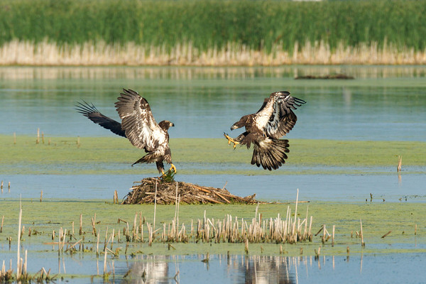 Juvenile American Bald Eagles cavort over muskrat nest in marsh • Montezuma NWR, NY • 2014
