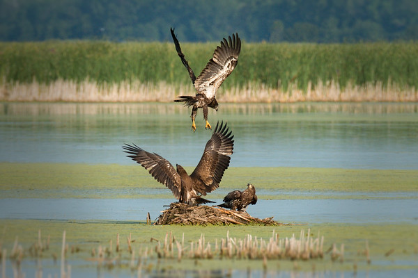 Juvenile Bald Eagles cavort over muskrat mound • Montezuma NWR, NY • 2014