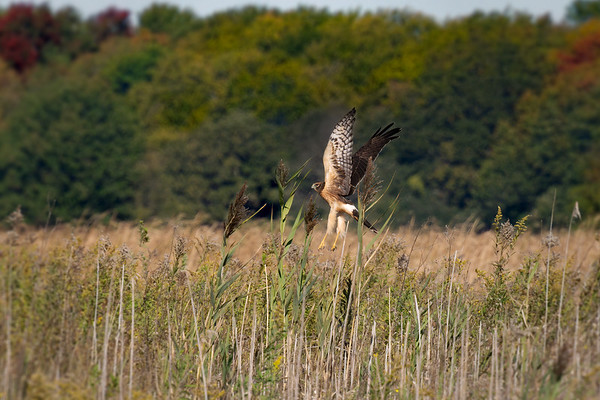 Northern Harrier hunting in field • Montezuma NWR Wildlife Drive, NY • 2010