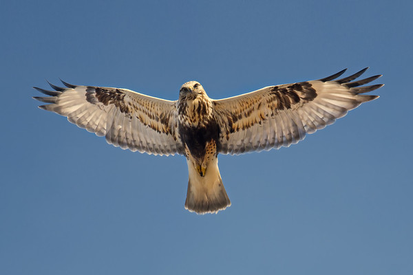Rough-legged Hawk with spread wings looks toward camera while hovering • Point Peninsula WMA, NY • 2021
