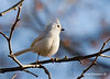 Leucistic Tufted Titmouse