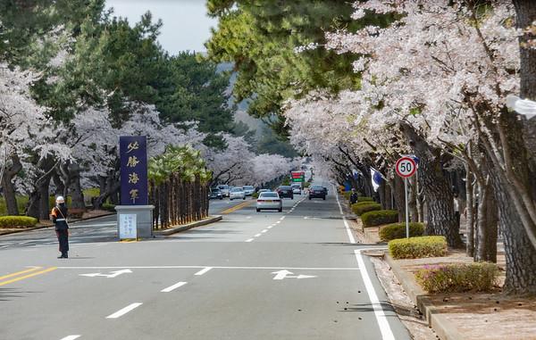 2018-04-07 Jinhae Cherry Blossoms