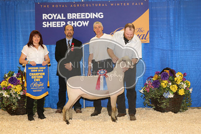RAWF Breeding Sheep Show Oxford Champion and Candid Photos 2016