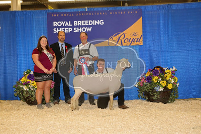 RAWF Breeding Sheep Show Southdown  Champion and Candid Photos 2016