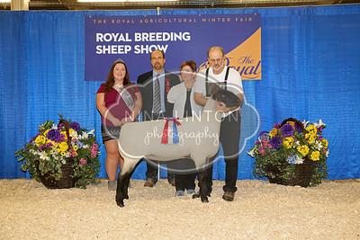 RAWF Breeding Sheep Show  Suffolk Champion and Candid Photos 2016