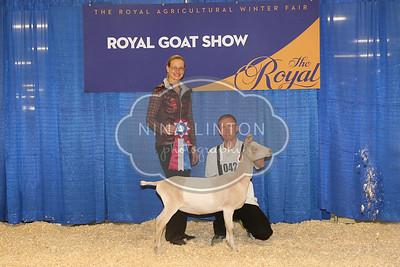 RAWF Dairy Goat Show La Mancha Champions and Candids 2016