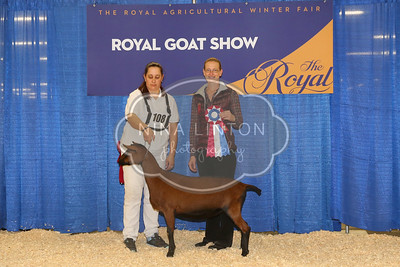 RAWF Dairy Goat Show Oberhasli Champion and Candid 2016