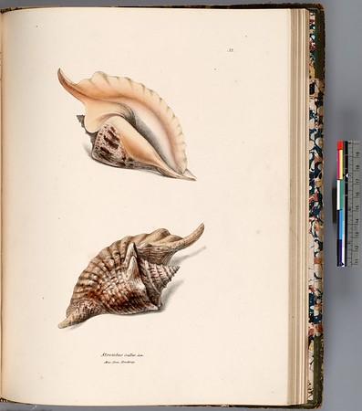 Strombus Gallus Lin. Mus. Dom. Broderip