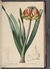 Cyrtanthus obliquus
