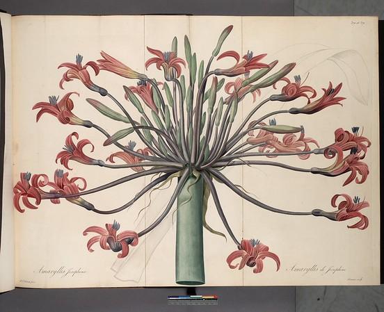 Amaryllis josephinae