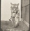 Tigress walking and turning around