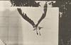Fish hawk flying