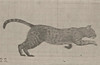Cat galloping