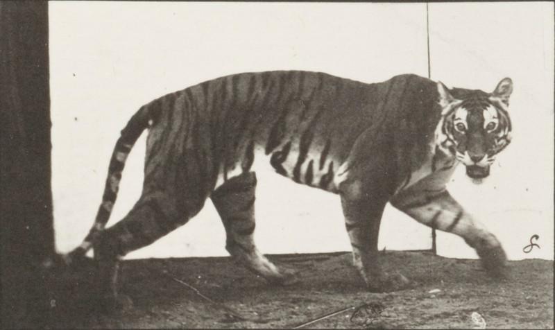 Tigress walking