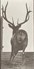 Elk galloping