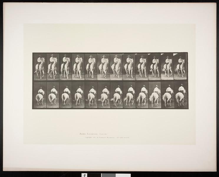 Horse Elberon trotting, saddled with rider
