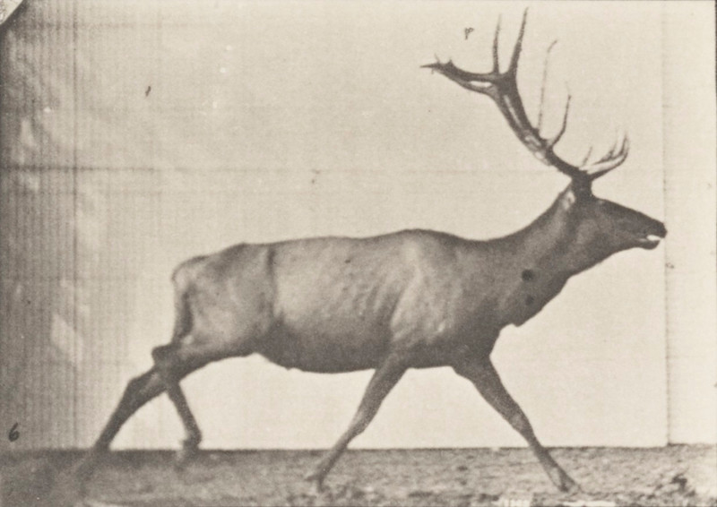 Elk galloping, irregular