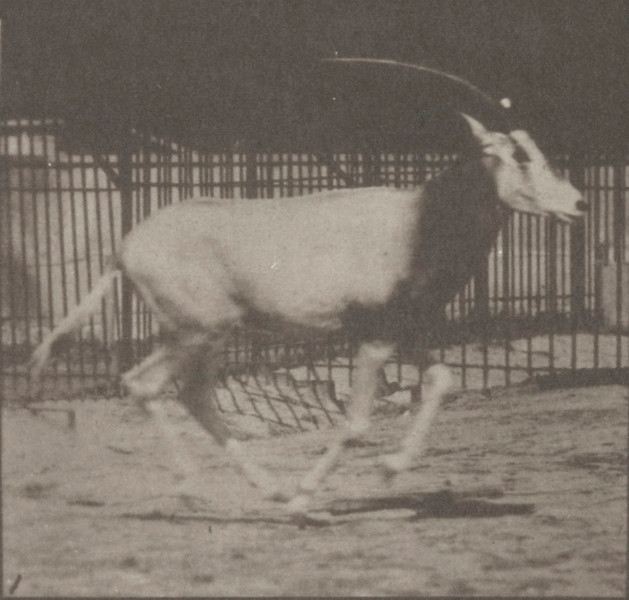 Oryx galloping