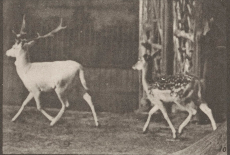 Fallow deer, buck and doe trotting