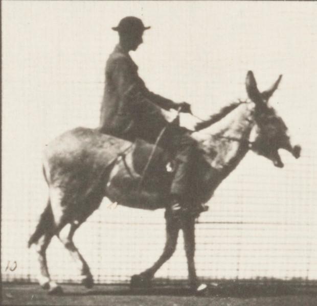 Horse Zoo walking, saddled with rider