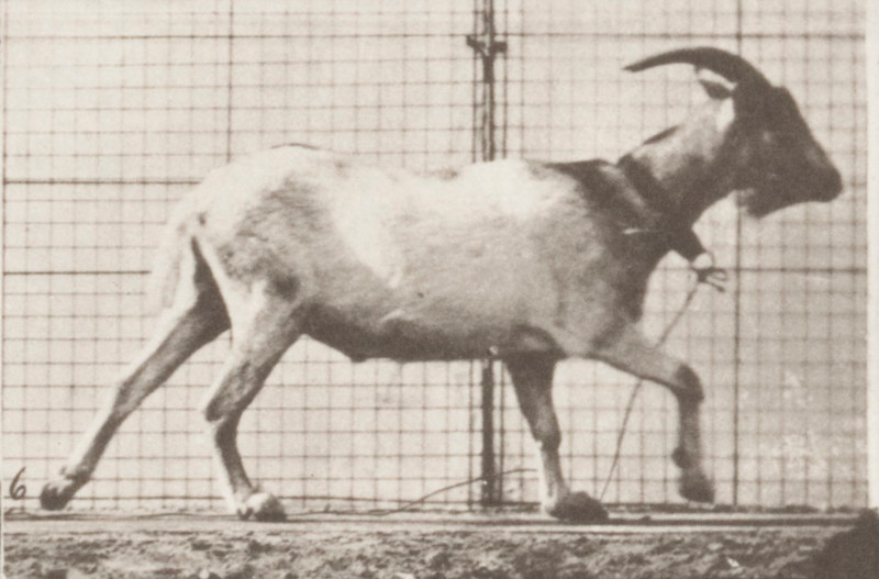 Goat galloping