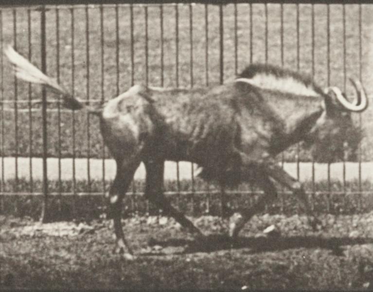 Gnu bucking and galloping